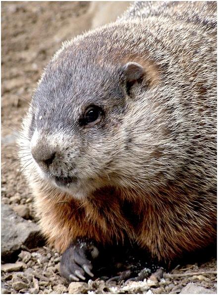 groundhog]